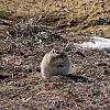 Песчаная крыса by Zorge